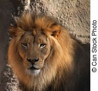 Lions head - Large male Lions head looking at camera with...