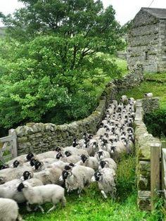 Transfering the sheep herd to new pasture. Sheep Farm, Sheep And Lamb, Country Farm, Country Life, Country Living, Farm Animals, Cute Animals, Lamas, Baa Baa Black Sheep