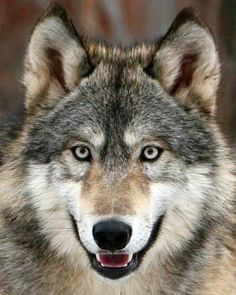 Not Blue, Yellow, Orange, Amber, Brown And Difinately Not/NEVER Green! These Eyes ARE Beautiful Gray! Wolf Photos, Wolf Pictures, Beautiful Wolves, Animals Beautiful, Tier Wolf, Wolf Hybrid, Wolf World, Wolf Totem, Arte Sailor Moon