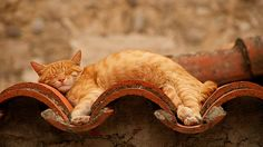 Flexible Ginger Cat Sleeping on a Bendy Wall! - Beziat B - photographer Funny Cats, Funny Animals, Cute Animals, Cute Kittens, Cats And Kittens, Cats Meowing, Ragdoll Kittens, Tabby Cats, Kitty Cats