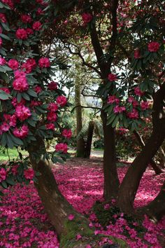 Rhododendrons at Cae