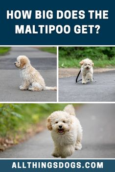 The Maltese Poodle Mix size may vary depending on the weight and height of their parent breeds. Some puppies may take their mothers height and weight, and some, their fathers. Read on for further details.  #maltipoo #maltesepoodlemix #maltipoosize Maltese Poodle Mix, Miniature Dog Breeds, Maltipoo Dog, Cute Dogs Breeds, Cuddling, Fathers, Puppies, Animals, Physical Intimacy