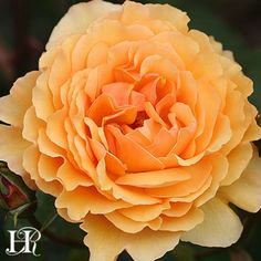 Royal Amber™ shrub rose. Continual blooming, fragrant