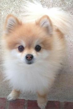 Beautiful Pom!