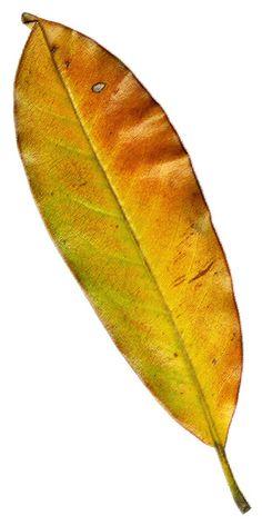 Magnolia Leaf 2 ~ Art by Billy Frank Alexander Watercolor Fruit, Watercolor Leaves, Botanical Drawings, Botanical Illustration, Botanical Flowers, Botanical Art, Winter Leaves, Leaf Photography, Embroidery Leaf