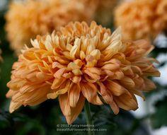 Crisantemo   Apricot Courtier reflex mums