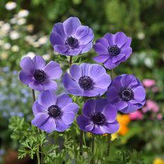 アネモネ:一重咲き・紫35ml入り                                                                                                                                                                                 もっと見る