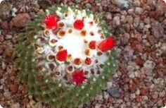 Chirau Mita jardín botánico con más de 1.200 especies de cactus de todo el mundo.  Chirau Mita jardín botánico con más de 1.200 especies de cactus de todo el mundo. Chirau Mita es un jardín botánico, que reúne más de 1.200 especies de cactus de todo el mundo, además de cardones y varios géneros de árboles y especies de ambientes secos, como el aloe vera y las agaves.1 Se encuentra en la localidad La Puntilla, del departamento de Chilecito, a 200 kilómetros de