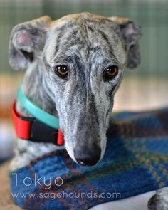 save-a-galgo-espanol | AVAILABLE DOGS
