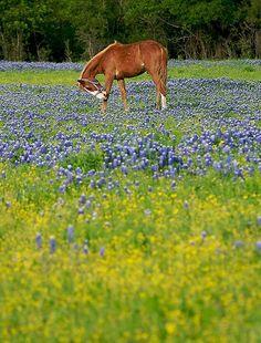 horse in field of bluebonnets - Texas
