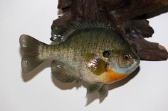 Bluegill - Closed Mouth