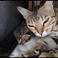 Okapi Impala des Griffes de Feu Okapi, Impala, Cats, Animals, Fire, Gatos, Animales, Kitty Cats, Animaux