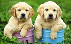 golden retrivers Puppys Cute Pets Animals Home by Stillwatersgifts, $9.99