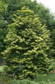 Crippsi Hinoki Cypress (3m high, 1.25m wide) A loose open upright conifer with exceptional bright yellow foliage. Semi-dwarf. Grows best in full sun to light shade. Canadale Nurseries Ltd.