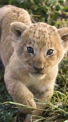 Lion cubs into big cats grow! Big Cats, Cats And Kittens, Cute Cats, Cute Baby Animals, Animals And Pets, Funny Animals, Wild Animals, Animals Images, Funny Cats