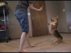 More Lance the Corgi tricks -- next Corgi I get I'm going to train her to do these tricks