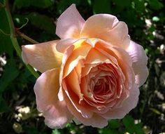KenGourley.com - Gallery of Roses