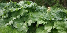 Everything you need to know about growing rhubarb. Where, when and how to plant as well as harvesting tips and some trouble shooting for everyone's favorite tart perennial Perennial Vegetables, Organic Vegetables, Growing Vegetables, Vegetable Garden, Garden Plants, Rhubarb Plants, Rhubarb Rhubarb, Growing Rhubarb, Types Of Herbs