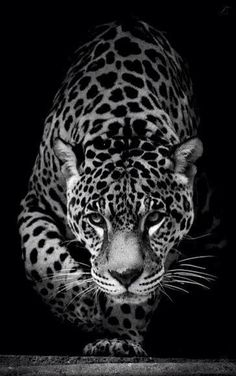 Beautiful jaguar face nature animals, animals and pets, cute animals, unique wallpaper, Nature Animals, Animals And Pets, Baby Animals, Cute Animals, Wild Animals, Jaguar Wallpaper, Wild Animal Wallpaper, Beautiful Cats, Animals Beautiful