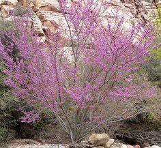 Cercis occidentalis 1 flower, form