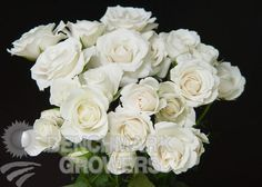 white majolica spray roses.  Used in Mothers, Fathers, Groom, Bridesmaids, low centerpieces.