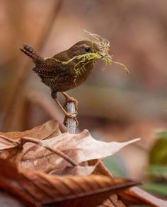 "wasbella102: "" Pacific Wren Getting ready """