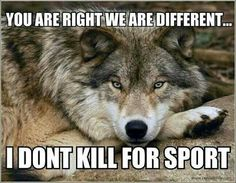 Source: Colorado Wolf and Wildlife Center Beautiful Creatures, Animals Beautiful, Cute Animals, Wild Animals, Wolf Spirit, Spirit Animal, Der Steppenwolf, All About Wolves, Tier Wolf