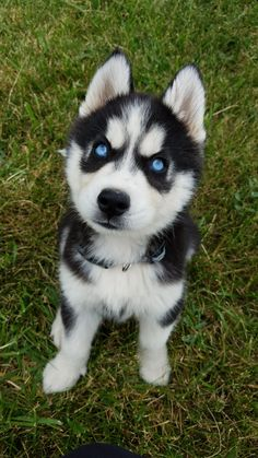 Things that make you go AWW! Like puppies, bunnies, babies, and so on. A place for really cute pictures and videos! Cute Husky Puppies, Super Cute Puppies, Cute Baby Dogs, Husky Puppy, Cute Little Animals, Cute Funny Animals, Funny Dogs, Siberian Husky Puppies, White Siberian Husky
