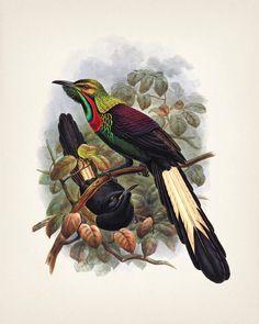 Splendid Astrapia ave del paraíso (Astrapia splendidissima) - 8x10 - impresión de la bella arte de una historia natural de la vendimia ejemplo antiguo