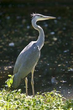 Grey heron (Graureiher)