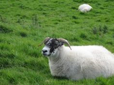 Inishbofin sheep-we talked to several of these guys while walking around the island