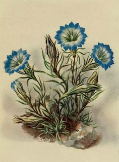 Gentiana Farreri. Plate from 'Alpine Plants.' Author A.J. Macself. Published 1923 by Scribner in New York archive.org