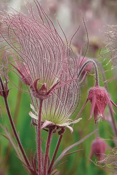 Prairie Smoke, Geum triflorum wildflower found from British Columbia and Ontario south to Iowa and Illinois. Needs well drained soil. Unusual Flowers, Wild Flowers, Beautiful Flowers, Prairie Planting, Prairie Garden, Fall Plants, Garden Plants, Shade Plants, Garden Shade