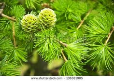 Green larch cones, larch tree
