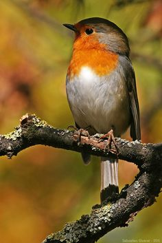 A robin's best profile