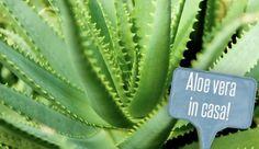 Gli eccezionali benefici dell'ALOE VERA: La pianta della vita ...Scopri il perchè! Aloa Vera, Desperate Housewives, Edible Flowers, Salvia, Natural Medicine, Life Is Beautiful, Health And Beauty, Natural Remedies, Health Tips