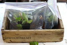 Clematis cuttings rooting in greenhouse bag