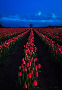 Skagit Valley Tulips in Northwest Washington State Photo by Trevor Anderson via flickr