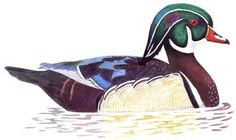 Wood Duck Pattern