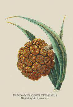 Pandanus Odoratissimus, The Fruit of the Keura Tree, by J. Forbes