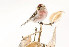 Photo of the Day: Common Redpoll | Audubon Magazine