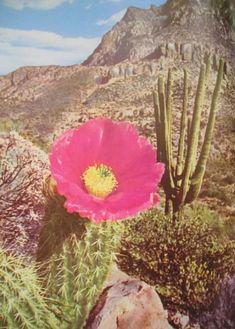 Pink Cactus Flower in Arizona. Desert Flowers, Desert Cactus, Desert Rose, Desert Aesthetic, New Mexico, Desert Dream, Nevada, Cactus Flower, Nice Flower