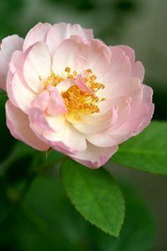 English Shrub Rose: Rosa 'Scarborough Fair' (U.K., 2003)