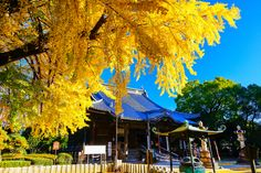 Autumn Japanese temple - Pinned by Mak Khalaf It is autumn scenery of traditional Japan. Photos of the temple is a national treasure of Japan. This is the original landscape of us Japanese. Landscapes BuddhismTraditionarchitectureautumnbeautifulbluecolorfulfallginkohistorichistoricalhistoryjapaesejapanleaveslegacyoldskytempletraditionaltreetreesyellowcoloful leaves by Akihiro_Satoh