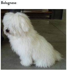 Breed: Bolegnese. Cutest little piece of pasta on the streets. Can anybody guess where this breed originated? If you guessed Italy you are correct! Originally from Bologna this Italian breed takes the win for our Sunday special. #dogs #breeds #packmentality #italy #bologna #bolegnese #madeinitaly #cute #cani #cake #win #special #leash #collar #love #sunday #adorable #animals #adoptdontshop #lifestyle #accessories