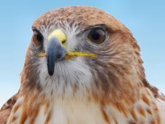 Red Tailed Hawk - one of my favorite photo's - ever