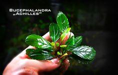 "Bucephalandra ""achilles"""