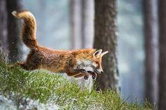 Red Fox by Michal Vařečka on 500px