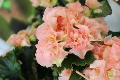 #Begonia rosé