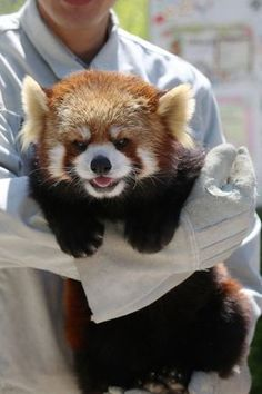 Sweet little Ron! Red Panda at the Chausuyama Zoo in Japan.